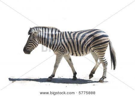 Profile Zebra