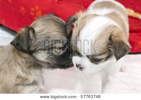 chihuahua puppy gently snuggle in other one