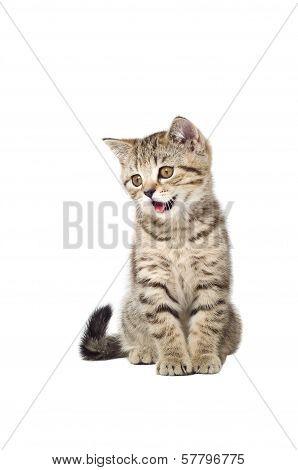 Kitten Scottish Straight meows