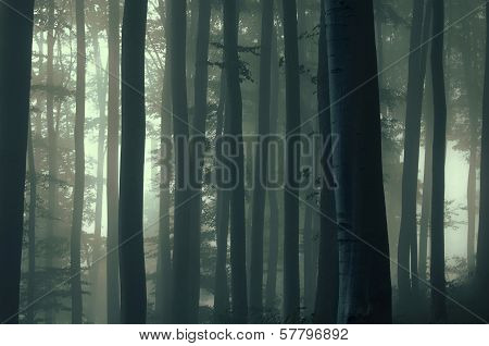 Birch trees in a dark forest with fog