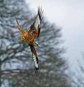 Red Kite Stooping To Right