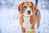 foto of puppy beagle  - Cute beagle hunter dog winter outdoor portrait - JPG