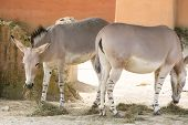 stock photo of horses ass  - The donkey or ass Equus africanus asinus is a domesticated member of the Equidae or horse family - JPG