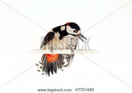 Great Spotted Woodpecker on white