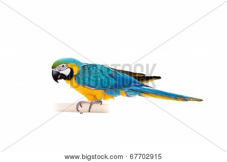 Blue and Yellow Macaw on the white background