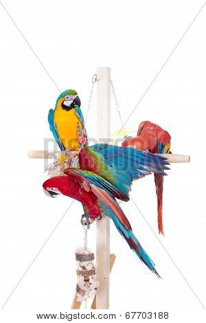 Different macaws on white