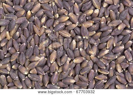 Purple Barley Seeds