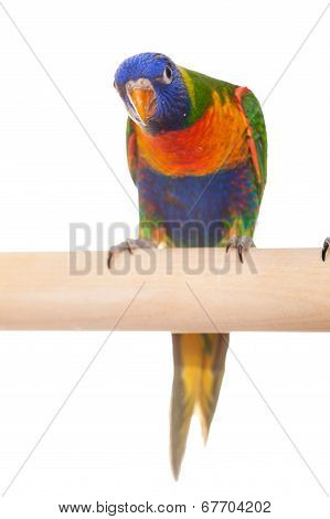 Rainbow Lorikeet on white background