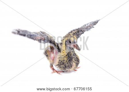 Baby pigeon on white