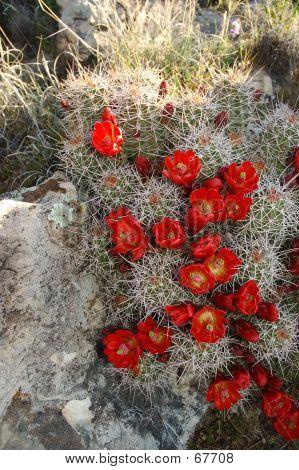Claret-cup Cactus In Spring