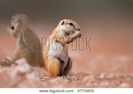 Ground Squirrels Eating