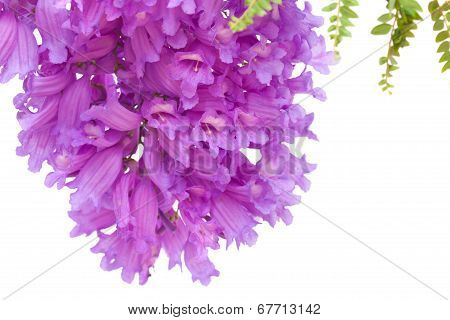 Jacaranda Flowers Isolated