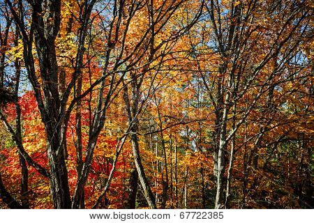 Autumn maple trees with colorful fall foliage and picturesque branches in Algonquin Provincial Park, Canada.