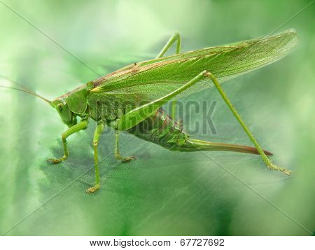 Big Green Locust Taken Closeup.