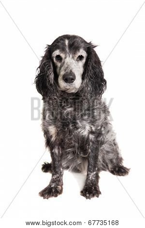 Russian spaniel on white background