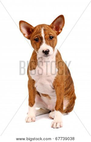 Little Basenji puppy on white