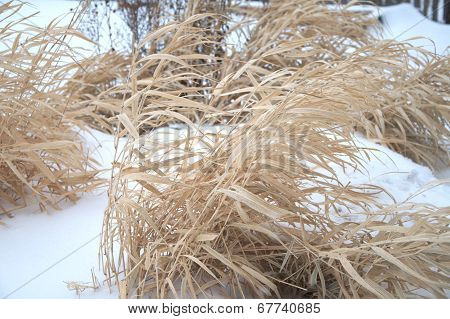 Dried Grass Swaying