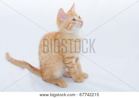 Foxy Kitten Sitting
