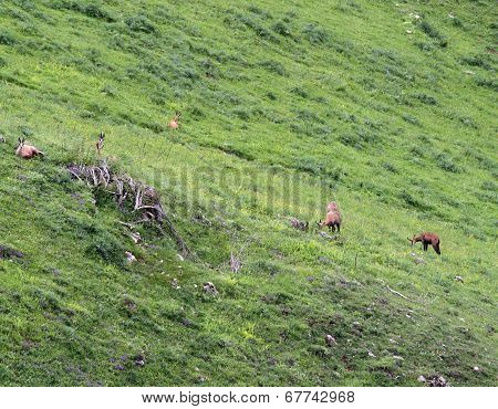 Chamois Grazing The Grass Alpine Pasture
