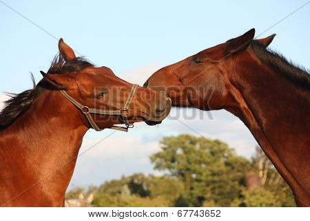 Two Horses Playing With Each Other