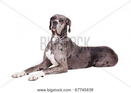 Blue Merle Great Dane on white
