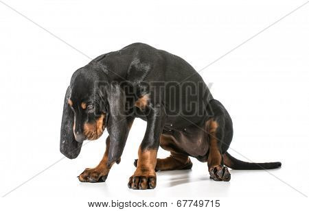 naughty puppy - black and tan coonhound with head dropped as though ashamed