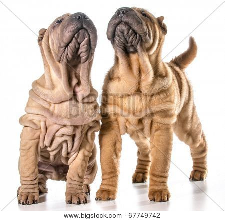 two chinese shar-pei puppies isolated on white background - 4 months old