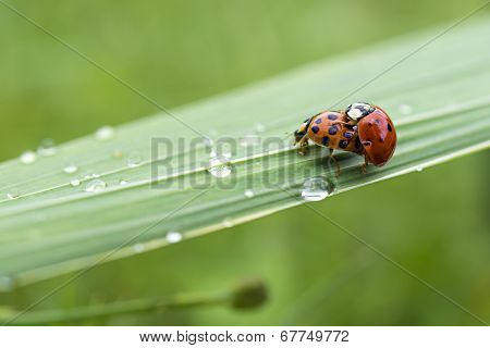 Love-making ladybugs couple