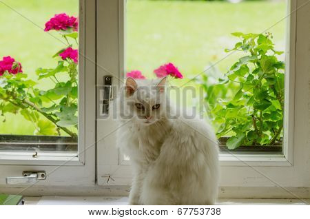 White Fluffy Cat Pet Sit On Window Sill