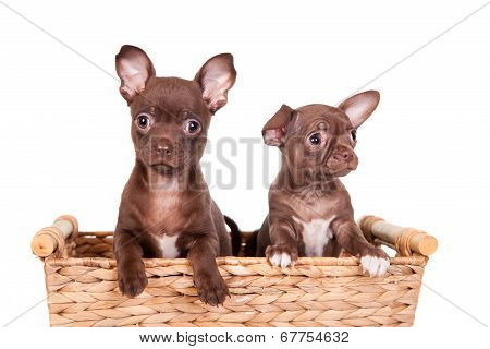 Chocolate chihuahua puppy in basket