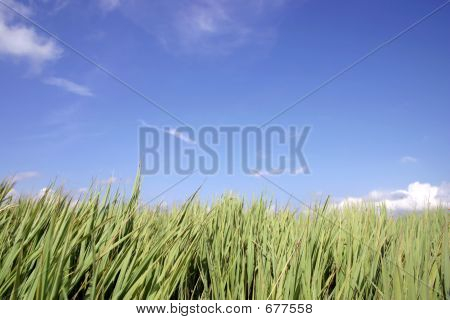 Blue Sky & Tall Grass