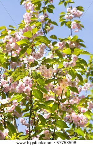 Pink Japanese Bird Cherry Tree