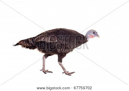 Turkey hen on white