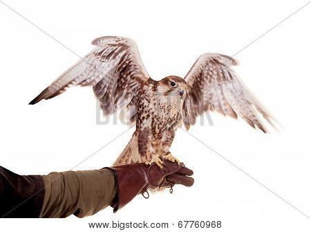 Saker Falcon isolated on white