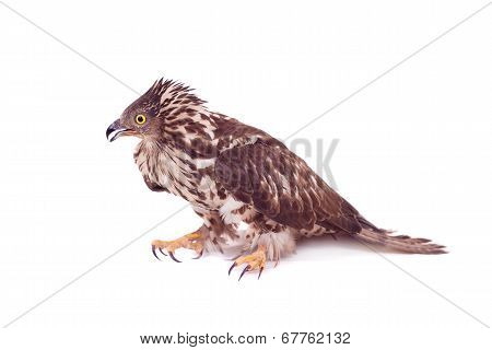 European Honey Buzzard on white