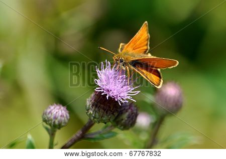 Colorful butterfly on blooming thistle