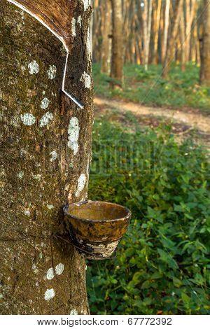 Tracks Tapping Rubber Trees
