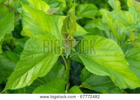 Mulberry Leaf Tree At Field