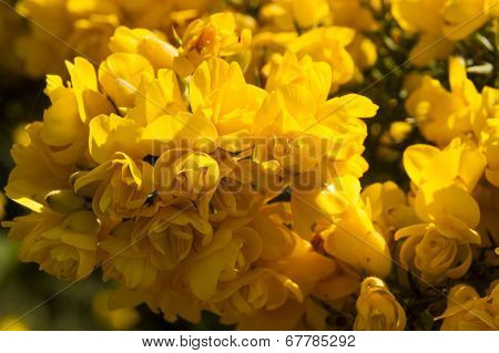 Ulex Europaeus,gorse, Common Gorse, Furze Or Whin. Flowers. Macro.
