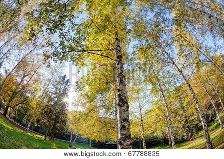 Siver Birch Trees