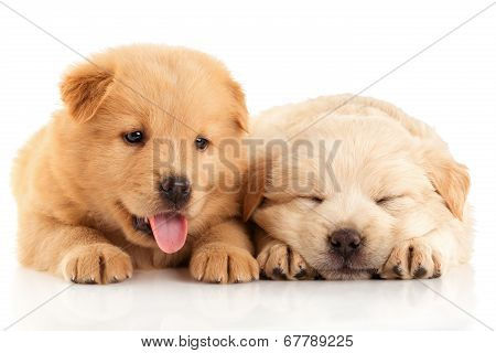 Two Cute Chow-chow Puppies,  Isolated Over White