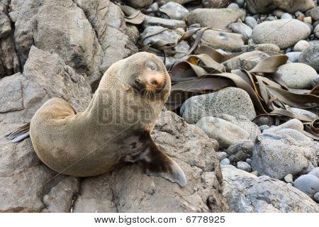 Fur Seal Looking Up