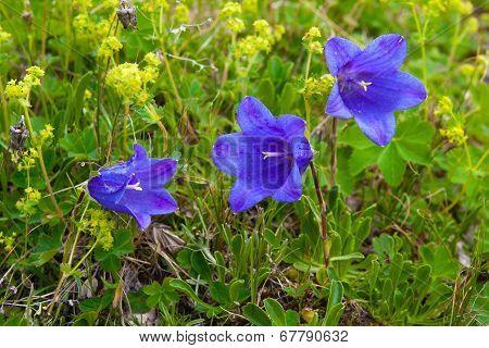 Flowers Campanula Alpina