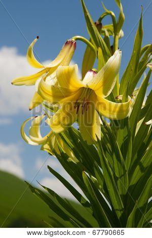 Lily Kesselring (lilium Kesselringianum) Is In The Mountains, North Caucasus, Russia