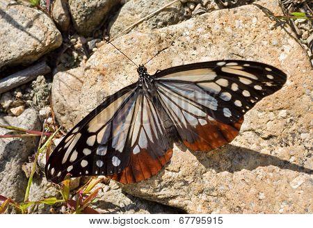 Butterfly (danais Tytia)