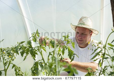 Farmer man with hat care about tomatos plants in greenhouse