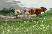 stock photo of fighting-rooster  - Two roosters fight on green glade - JPG