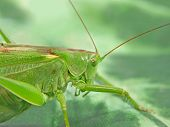 stock photo of locusts  - The pfoto of  Locust taken closeup on green background.