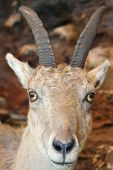image of cuckold  - young IBEX in the rocks of the Alps - JPG