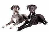 stock photo of spotted dog  - Two great Dane dogs isolated on white background - JPG